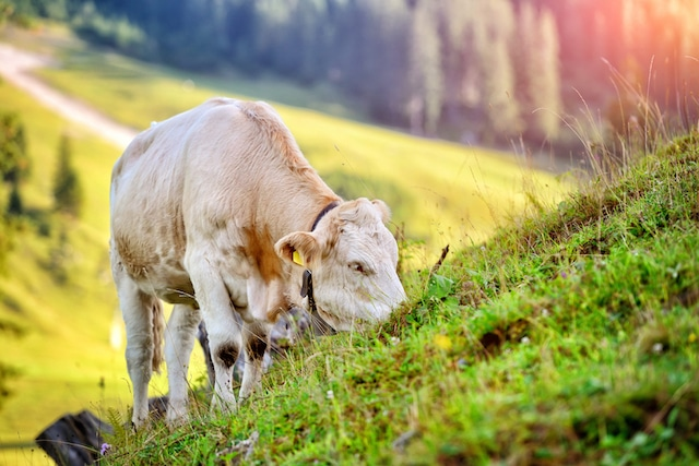Kuh der Schweizer Landwirtschaft